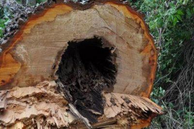 Baumfällung - Bäume weichen für die Sicherheit von Bewohnern und Passanten